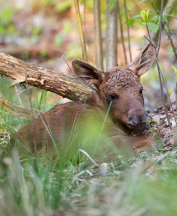 cute_moose_3.jpg