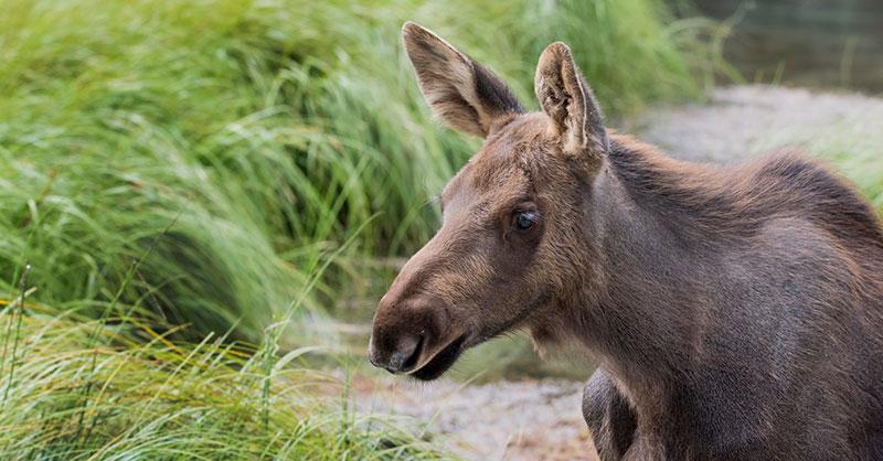 cute_moose_THUMB.jpg