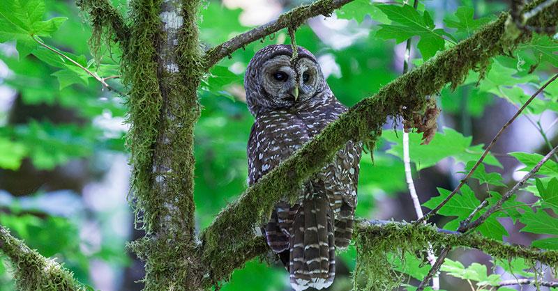 cute_spotted_owl_thumb.jpg