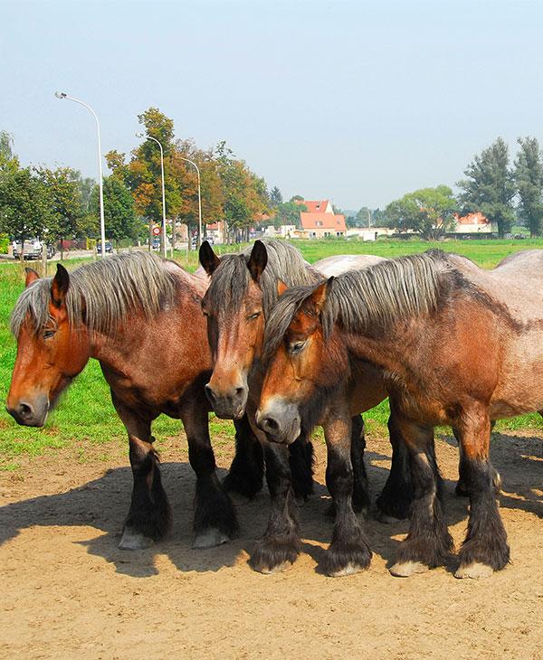 cute_drafthorses.jpg