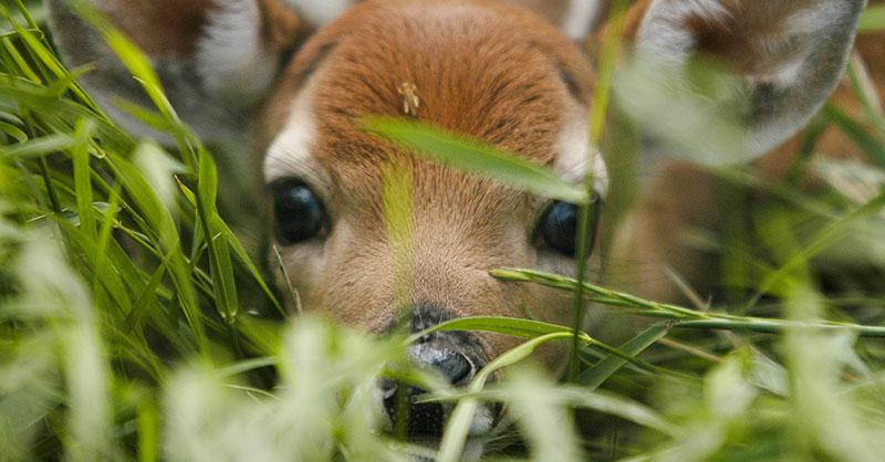 cute_fawnrescue_THUMB.jpg