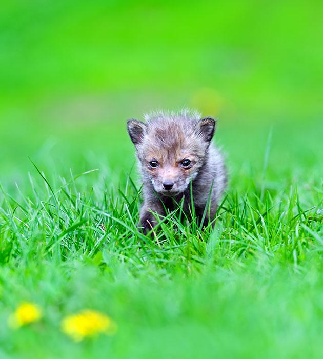 foxpup.jpg