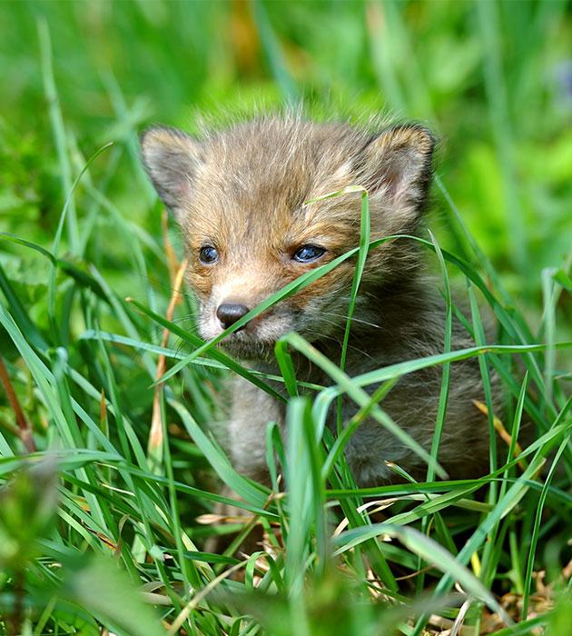 foxpup2.jpg