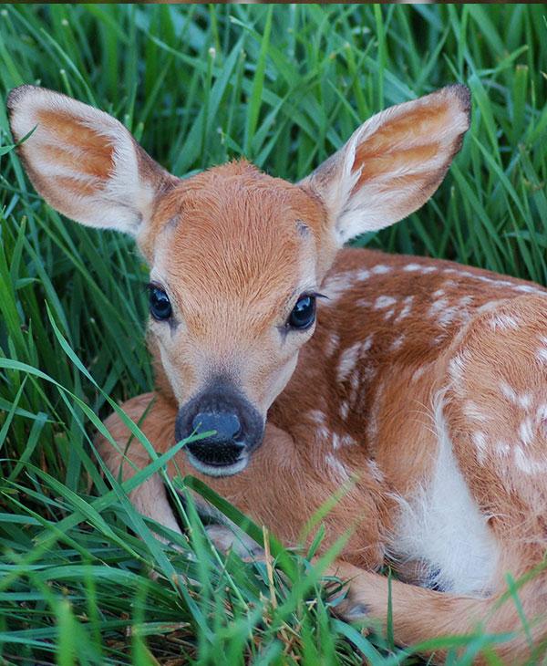 Cute_baby_deer.jpg