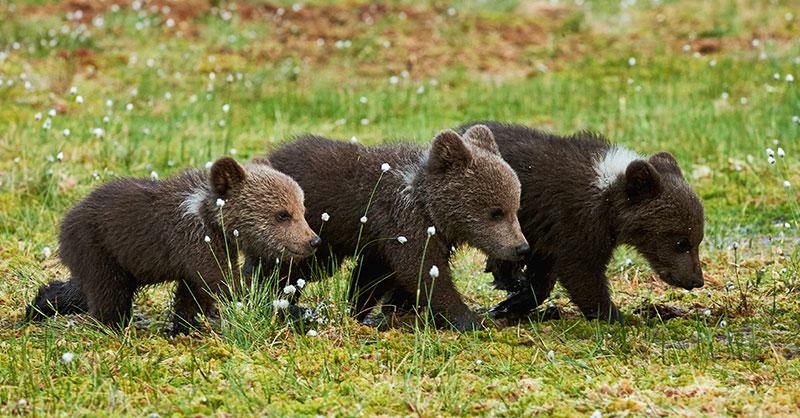 cute_bearcubs_THUMB.jpg