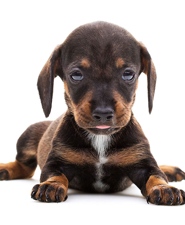 cute_dachshundpuppy.jpg