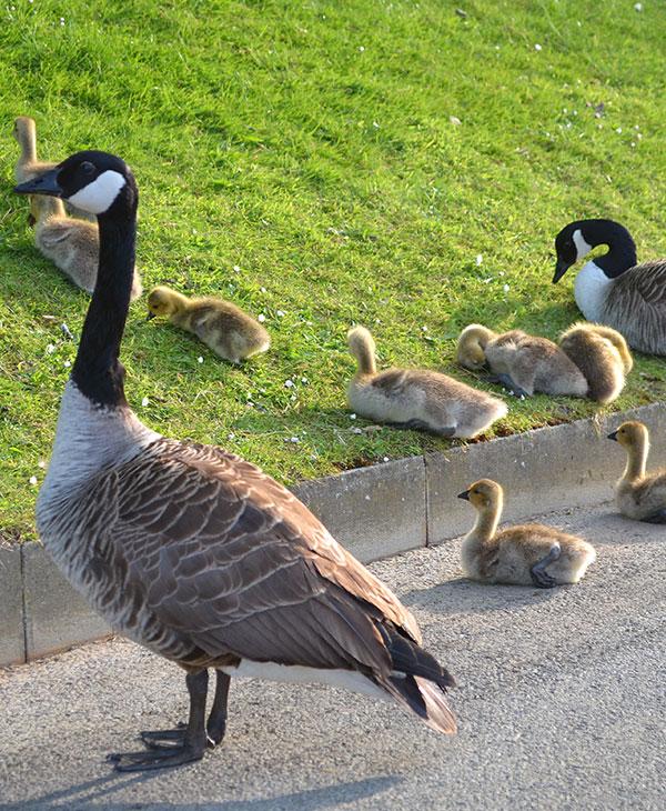 cute_geese2.jpg