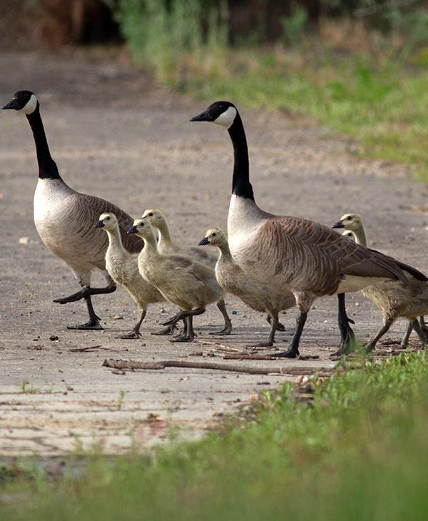 cute_geese3.jpg