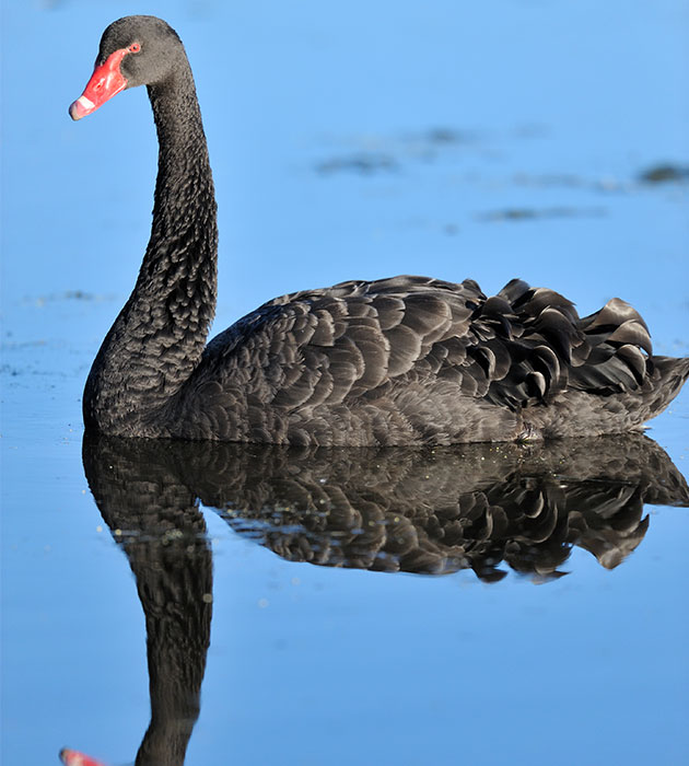 black-swan-water.jpg