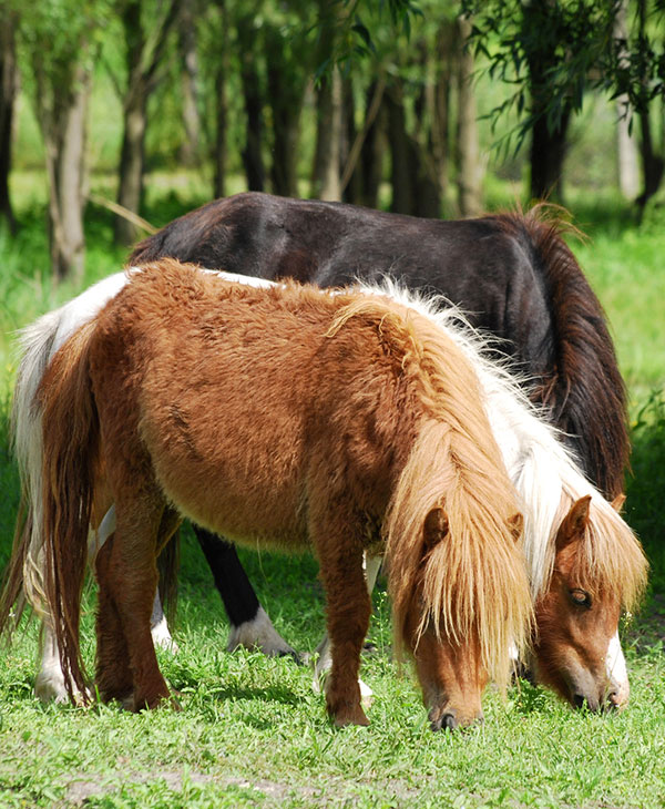 cute-shetland-ponies-eating.jpg