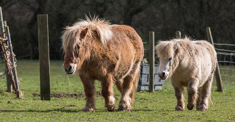 cute-shetland-ponies-together-THUMB.jpg