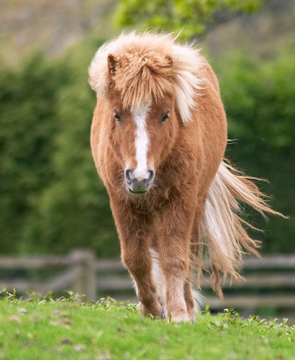 cute-shetland-pony-walking.jpg