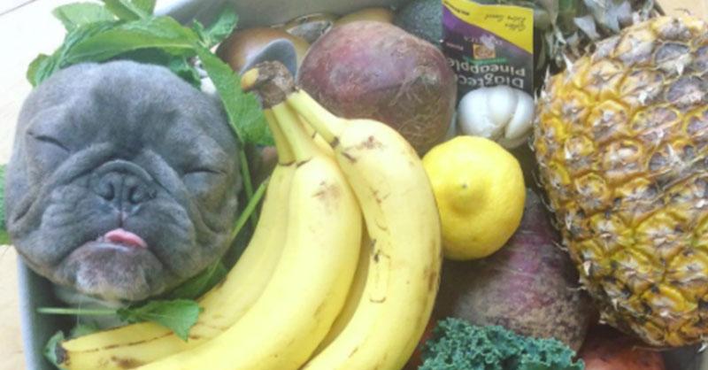 cute-frenchie-in-fruit-basket-THUMB.jpg