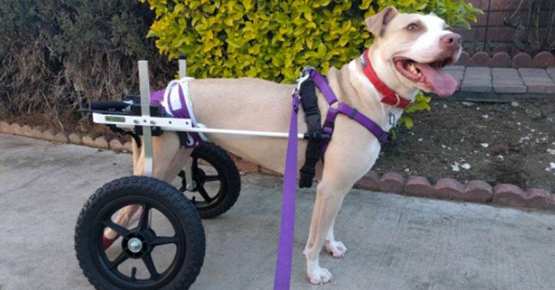 cute-dali-dog-in-wheelchair-THUMB.jpg