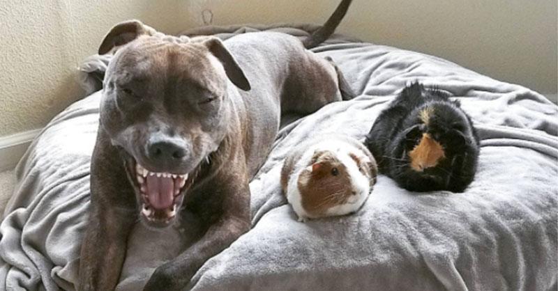 cute-pitbull-and-guinea-pig-siblings-THUMB.jpg