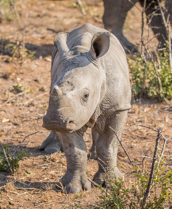 cute-baby-rhino-frontview.jpg