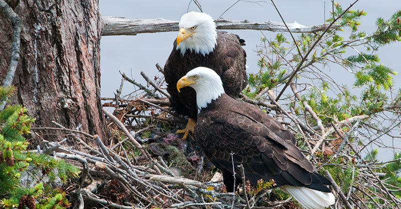 A Pair Of Eagles Surprise Everyone When Instead Of Eating Their Prey ...