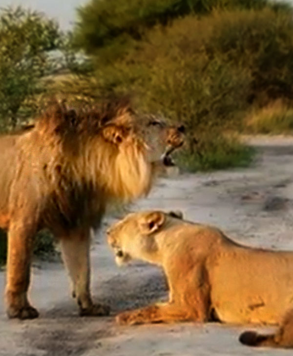 cute-lioness-and-lion.jpg