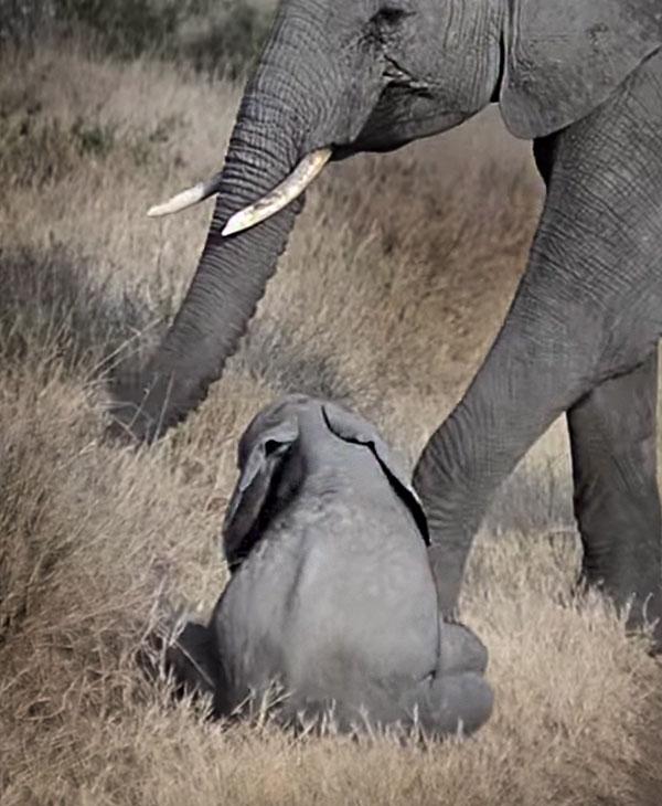cute-baby-elephant-on-booty.jpg
