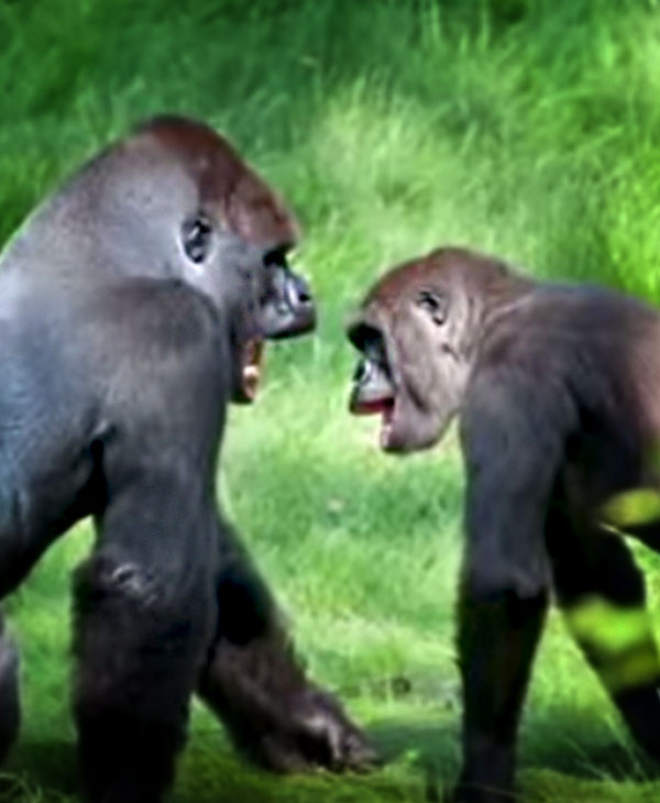 cute-gorilla-brothers-playing.jpg