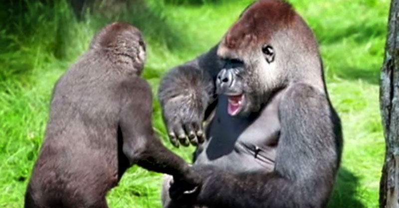 cute-gorilla-brothers-reunion-THUMB.jpg