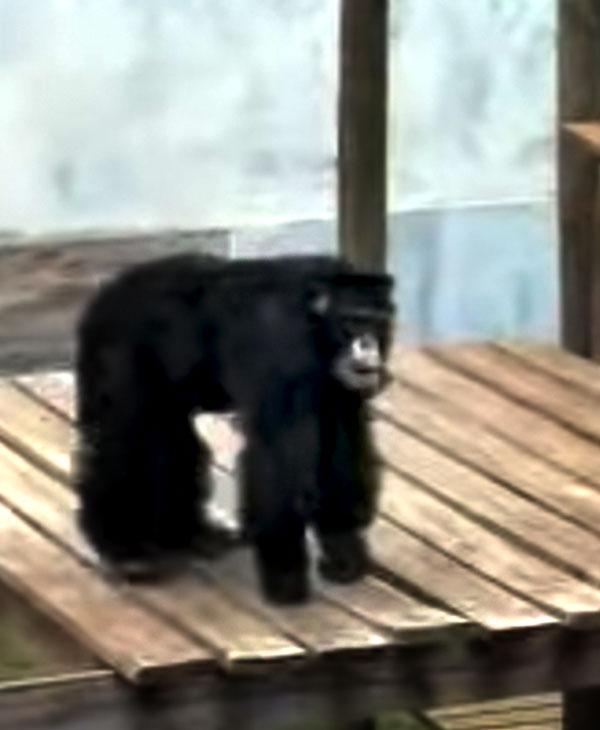 cute-jojo-chimp.jpg