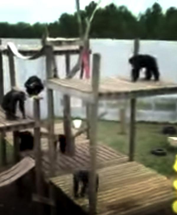 cute-ape-enclosure.jpg