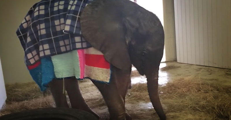 cute-baby-elephant-with-blanket-THUMB.jpg