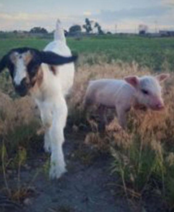cute-pig-goat.jpg