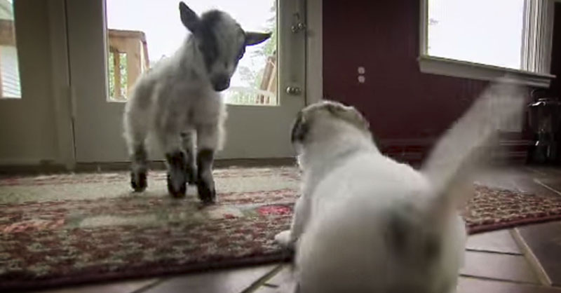 cute-goat-meets-puppy-THUMB.jpg