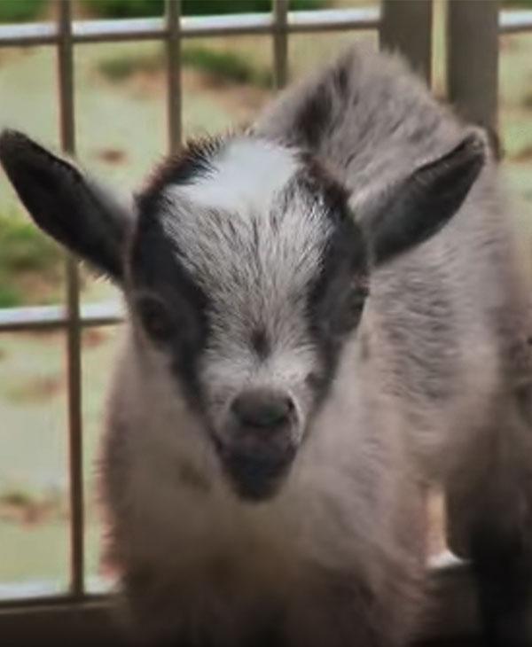 cute-pygmy-goat.jpg