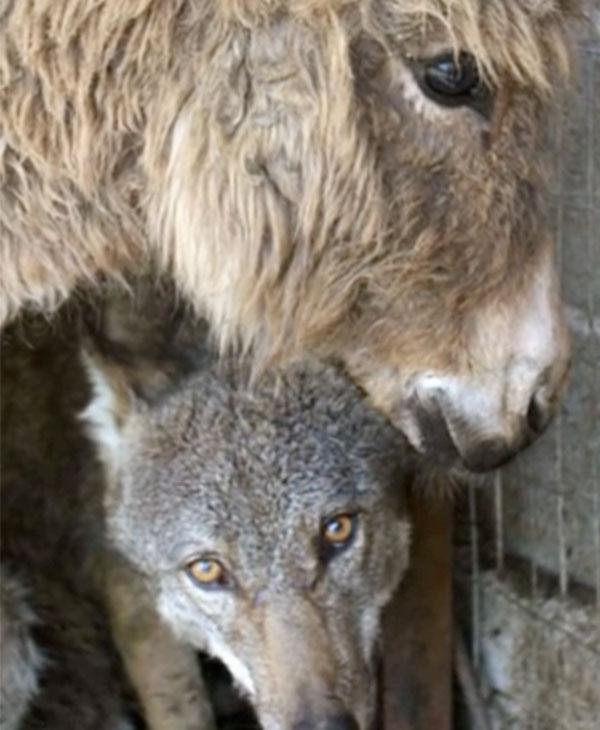 cute-wolf-donkey.jpg