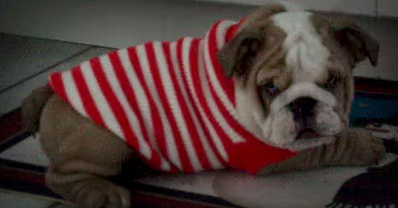 cute-bulldog-in-sweater-THUMB.jpg