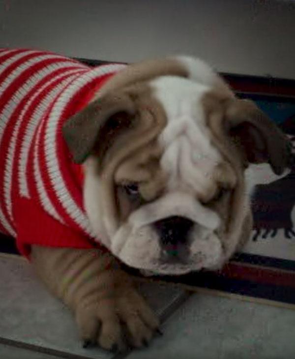 cute-bulldog-looking-at-camera.jpg