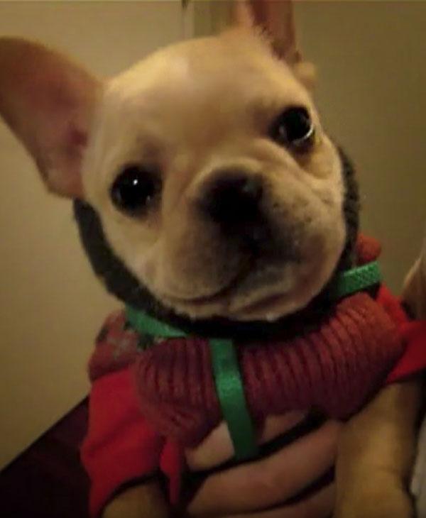 cute-french-bulldog-close-up.jpg