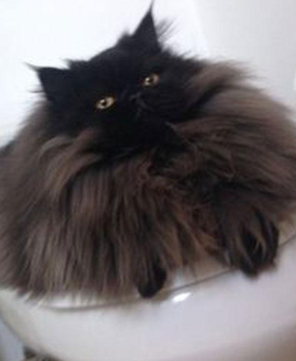 cute-brownie-cat.jpg