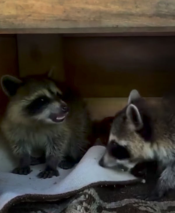 cute-raccoon-siblings-in-shelter.jpg