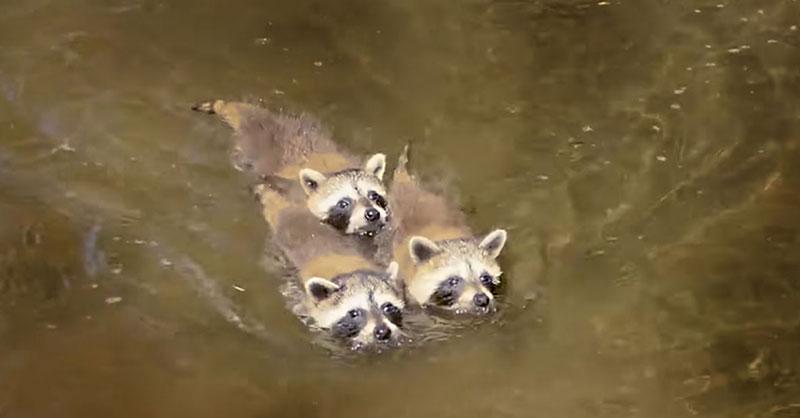 cute-raccoon-siblings-swimming-THUMB.jpg