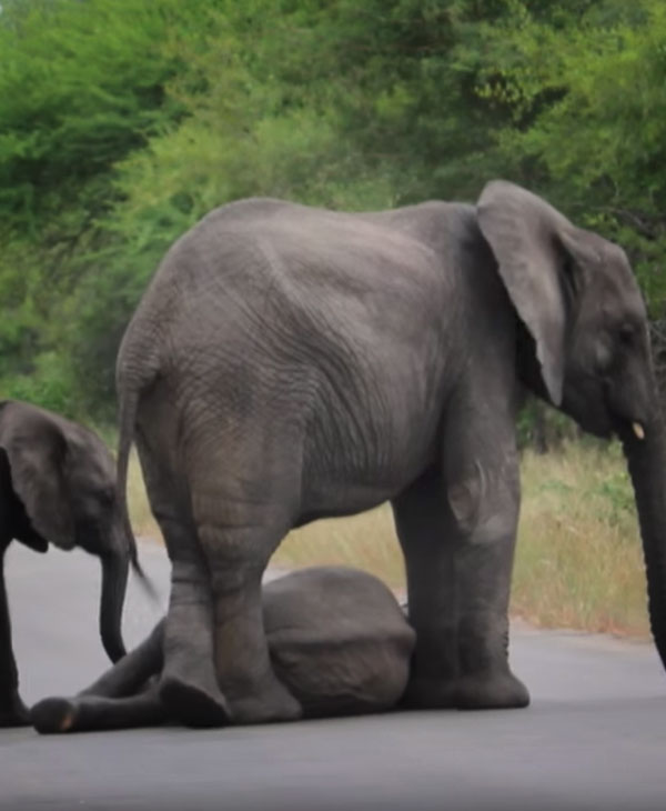 cute-elephant-collapse-with-family.jpg