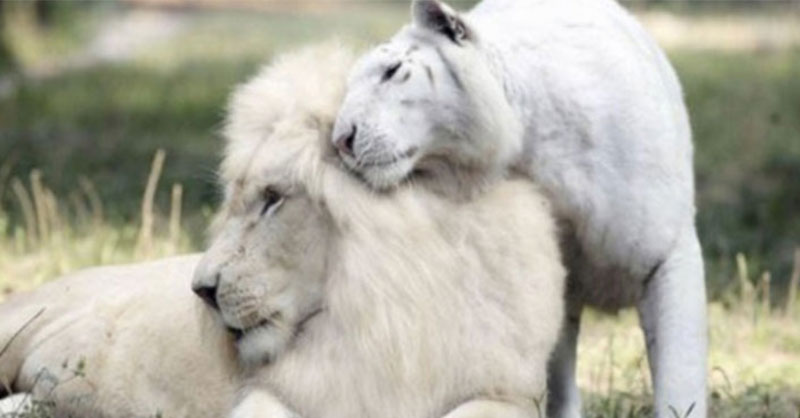 What Do You Get When You Cross A White Tiger And A White Lion