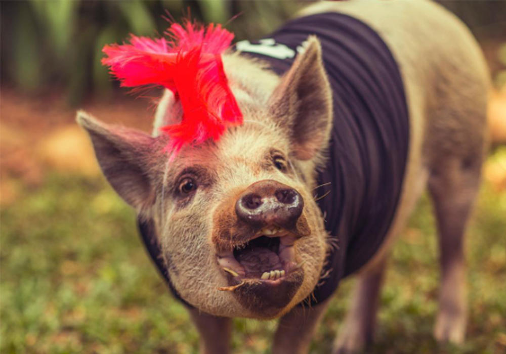 jamon is the cutest pig ever and he s determined to change how you