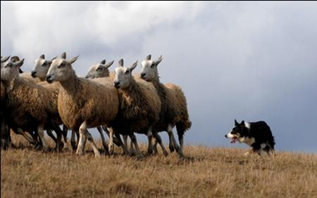 Sheep_or_sheepdog.jpg