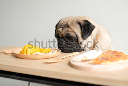 stock-photo-have-lunch-with-me-the-pugs-dog-waiting-to-eat-dog-snack-337461746.jpg