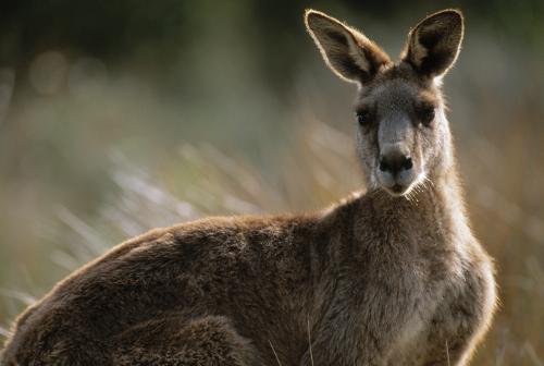 kangaroosmall.jpg