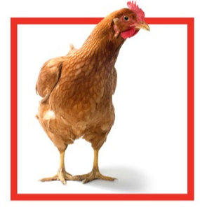 chicken_from_flyer_-_Copy.PNG