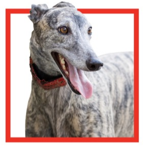 Greyhound_from_flyer_-_Copy.PNG