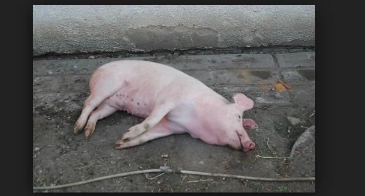 pig_slaughter.png