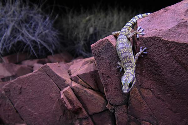 Kai Goold Inland Marbled Velvet Gecko