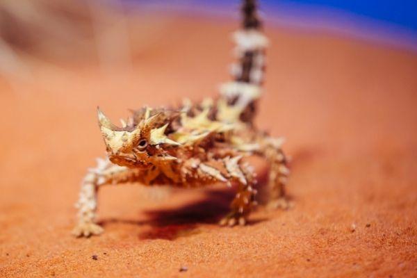 Thorny Devil walking through the desert, near Alice Springs in Australia