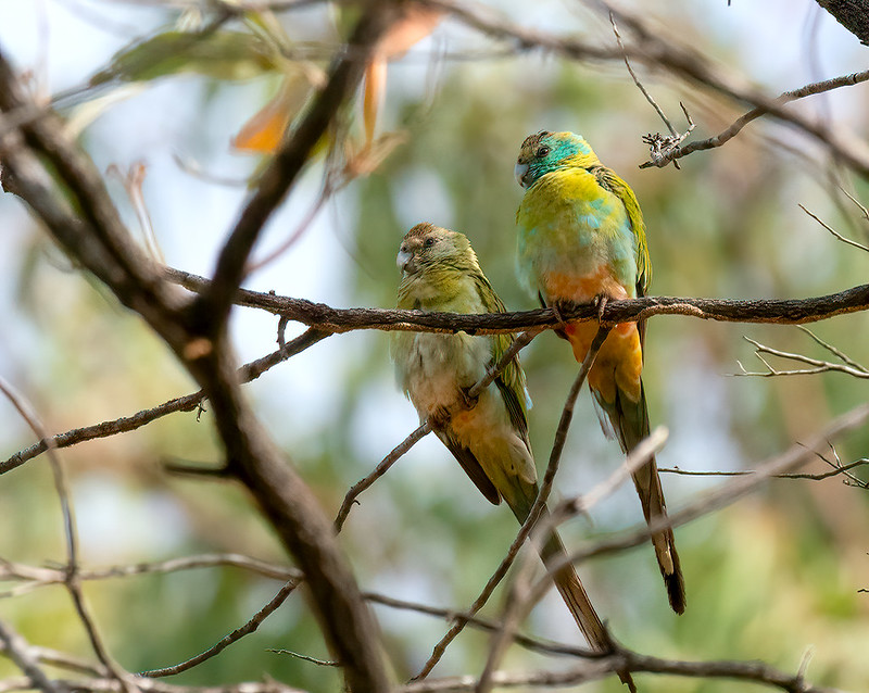 Two Golden Shouldered Parrots perch on a tree